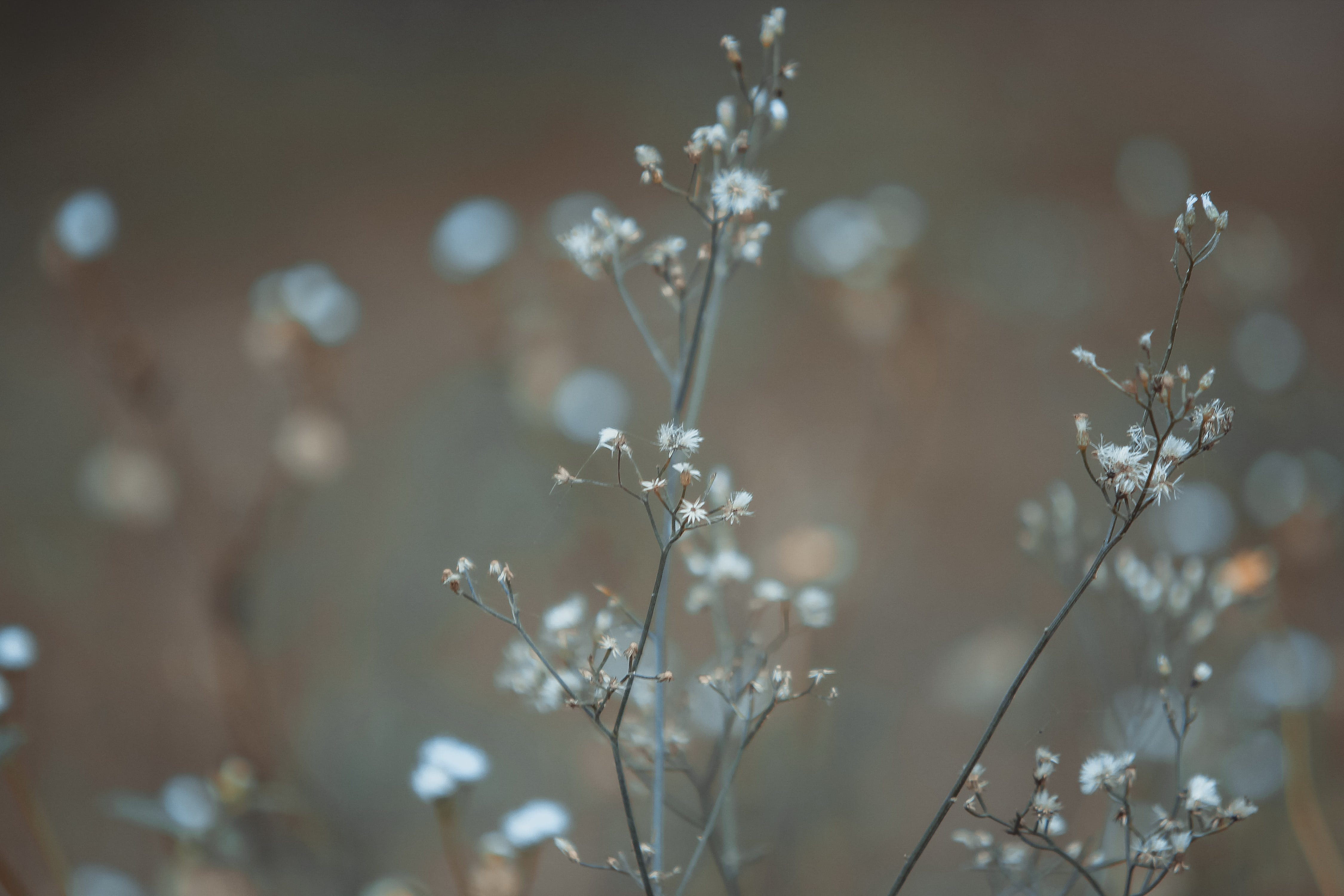 White Baby's Breath Flower in Focus Photography
