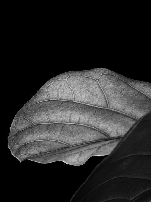 Foto stok gratis background hitam, daun, Daun besar, gelap
