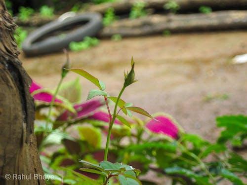 Безкоштовне стокове фото на тему «рожеве дерево, червона троянда»