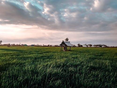 Imagine de stoc gratuită din câmpuri de orez, orez