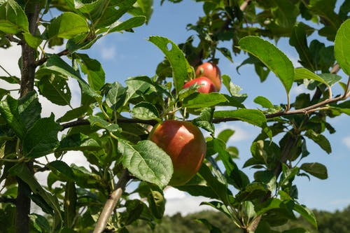 Free stock photo of apple tree