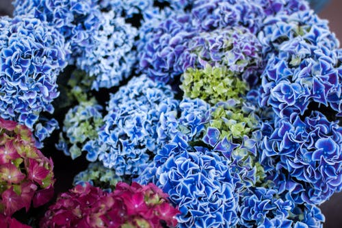 Free stock photo of blue, blue flowers, flawers, plant