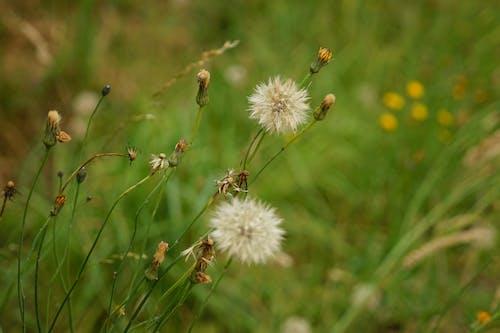 Gratis arkivbilde med blanc, champs, fleurs, flore