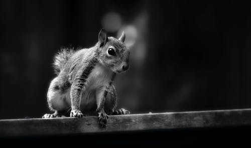 Grayscale and Selective Focus Photography of Squirrel