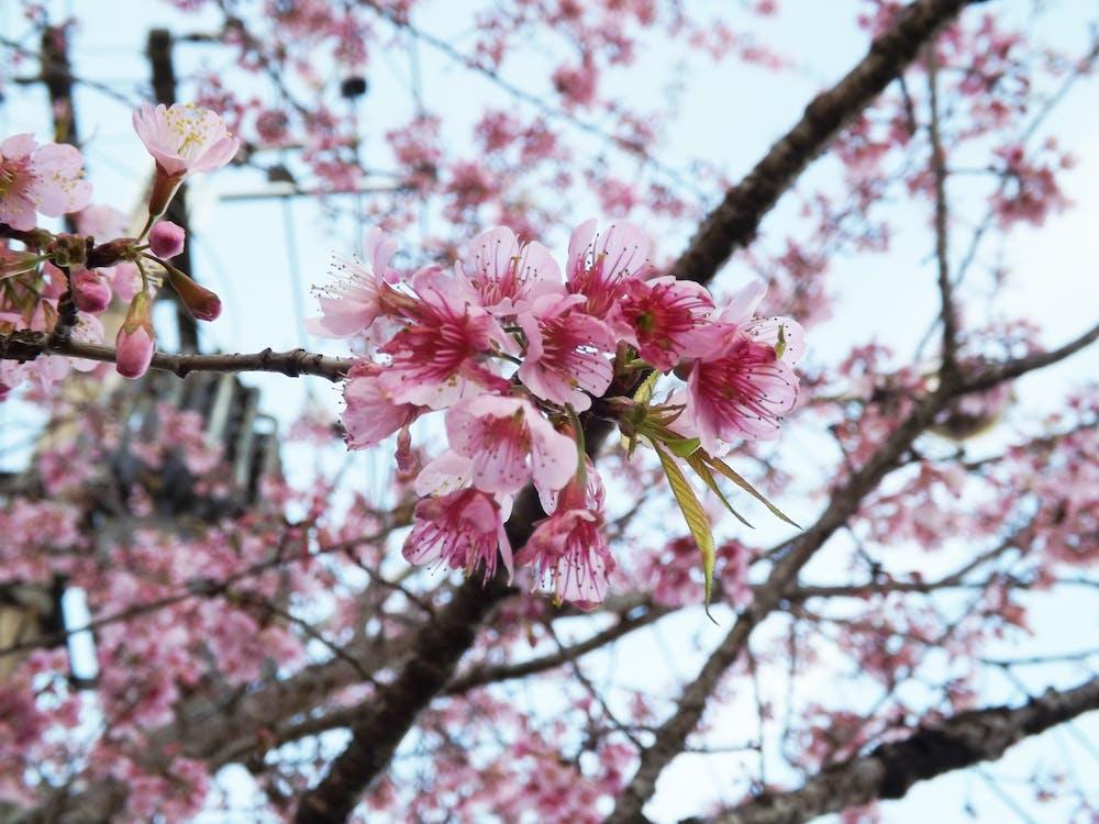 Free stock photo of cherries, cherry, cherry blossom