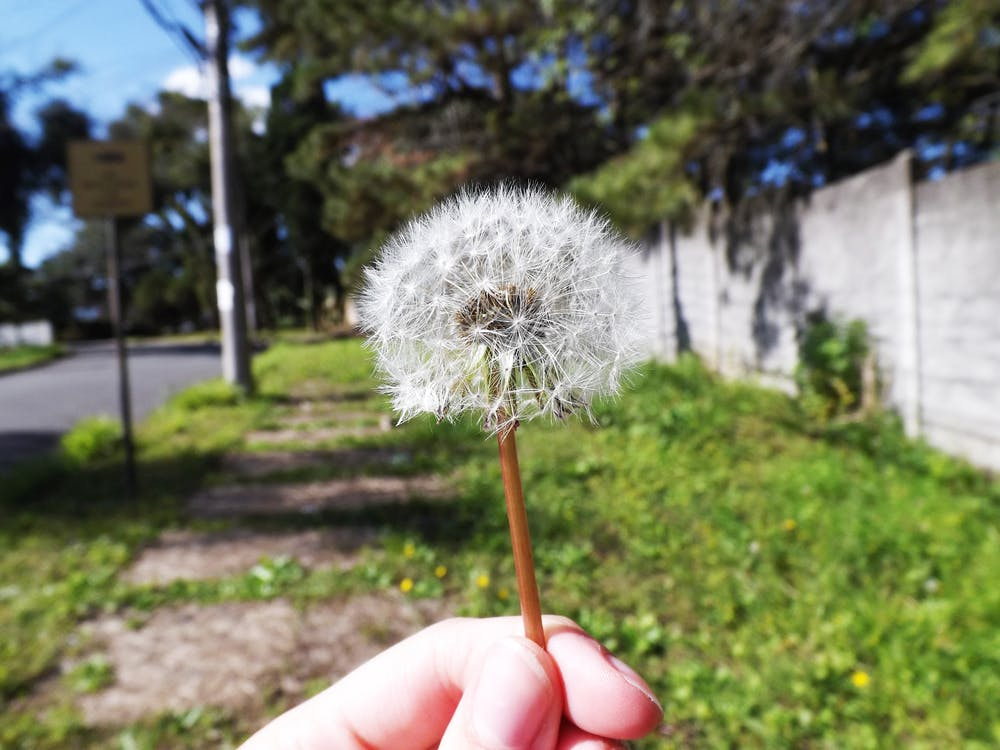 Free stock photo of dandelion, flower, wiches
