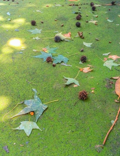 akçaağaç yaprakları, güz, güz yaprakları, yeşil içeren Ücretsiz stok fotoğraf