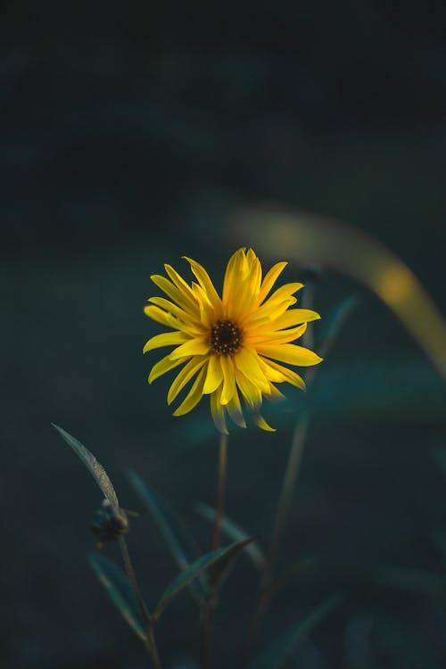 tragopogon pratensis, 꽃, 노란 꽃, 노란색 꽃의 무료 스톡 사진