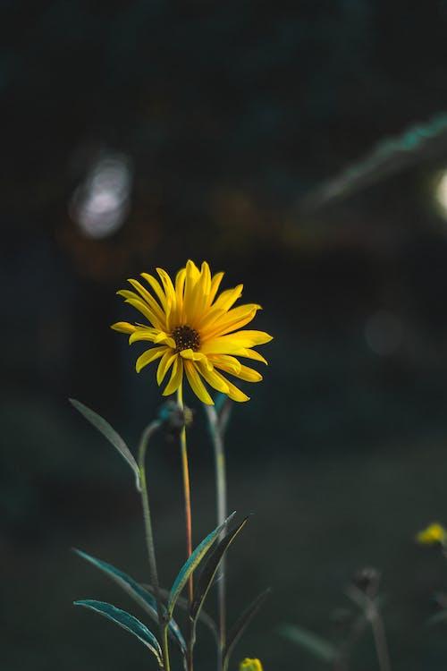 꽃, 노란 꽃, 노란색 꽃, 보케의 무료 스톡 사진