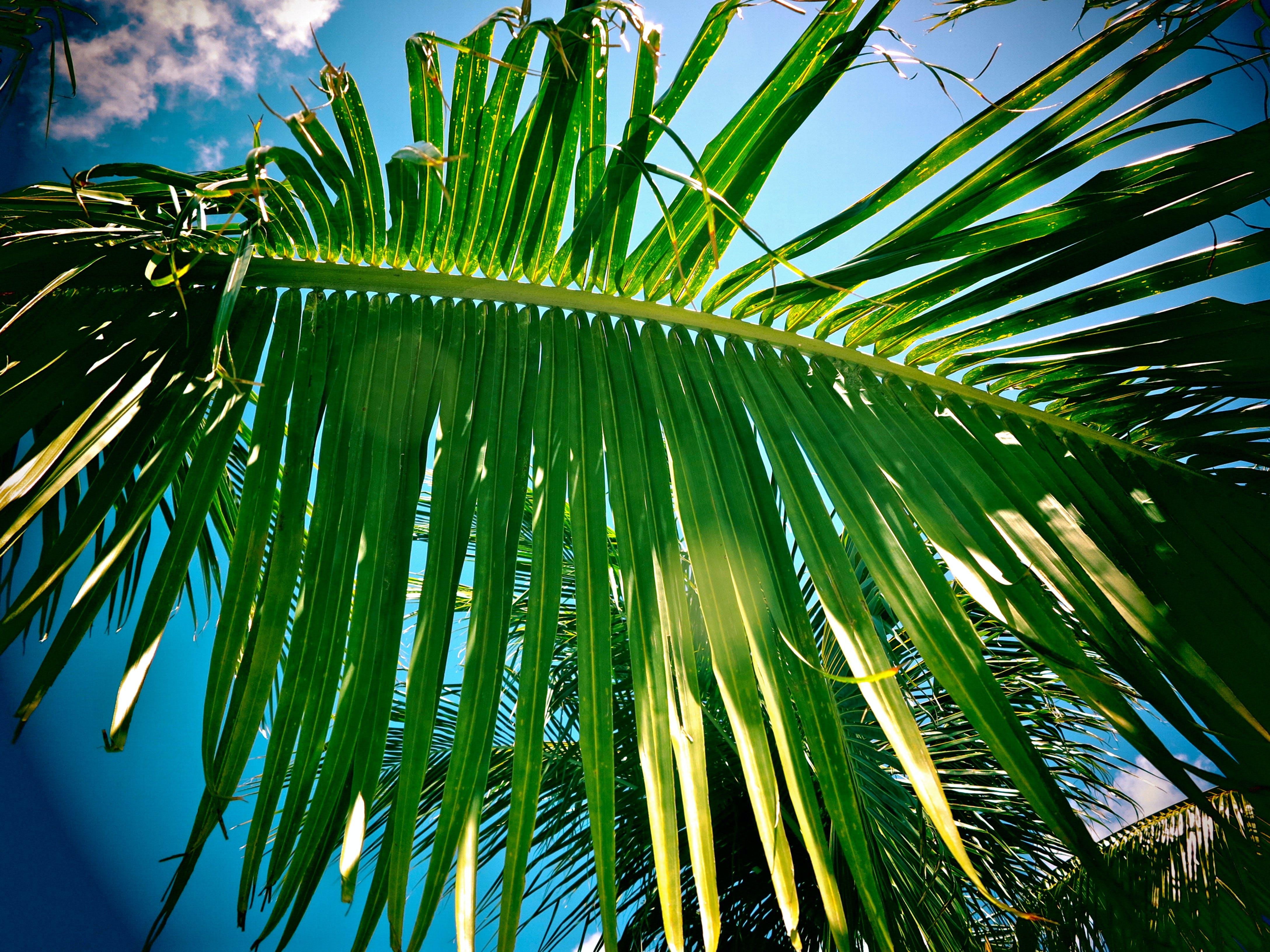 Free stock photo of caribbean, palm, palm tree