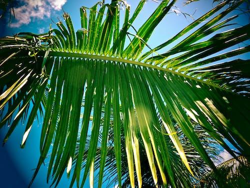 Kostnadsfri bild av karibien, palm, palmträd