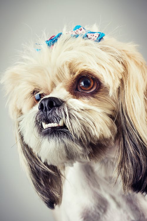Free stock photo of animal portrait, dog, studio photography, Studio shoot