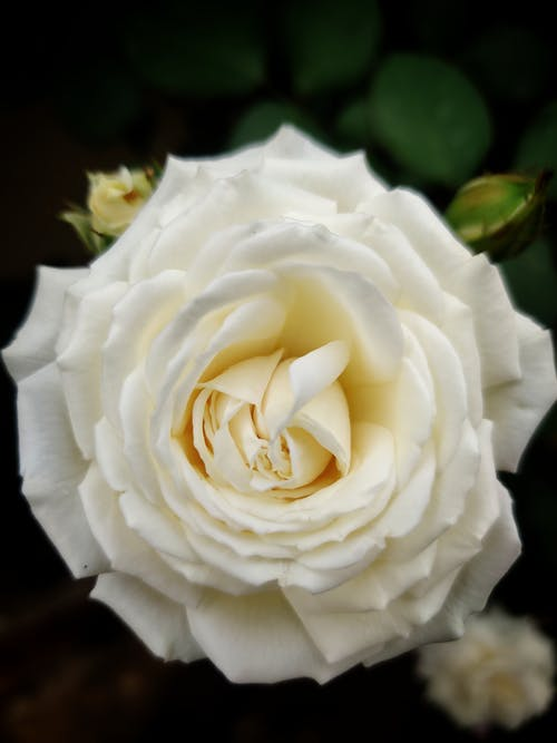Ilmainen kuvapankkikuva tunnisteilla ruusu kukka