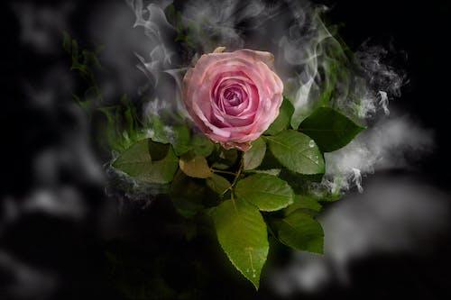 Free stock photo of fantasie, flowers, rose
