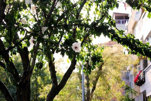 Free stock photo of flower, tree, white flower