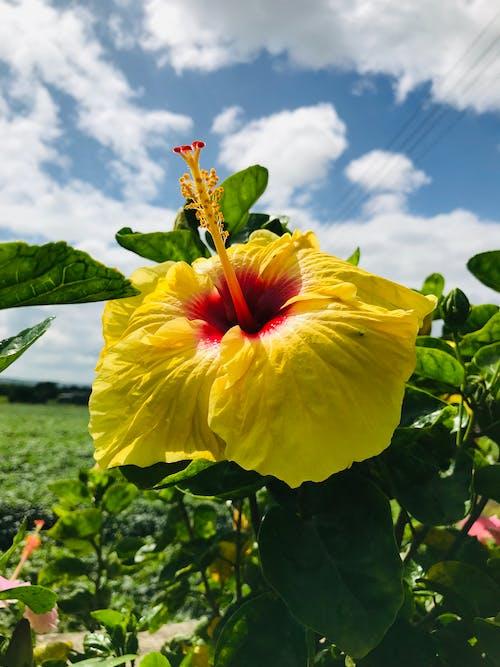 Бесплатное стоковое фото с iphone 7, Гибискус, голубые небеса, желтый цветок