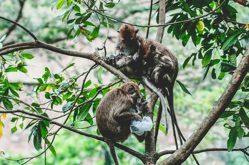 Monkeys on Tree