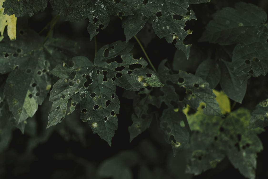 Leaves with holes from pests