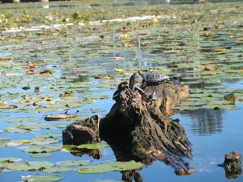 Darmowe zdjęcie z galerii z żółwie