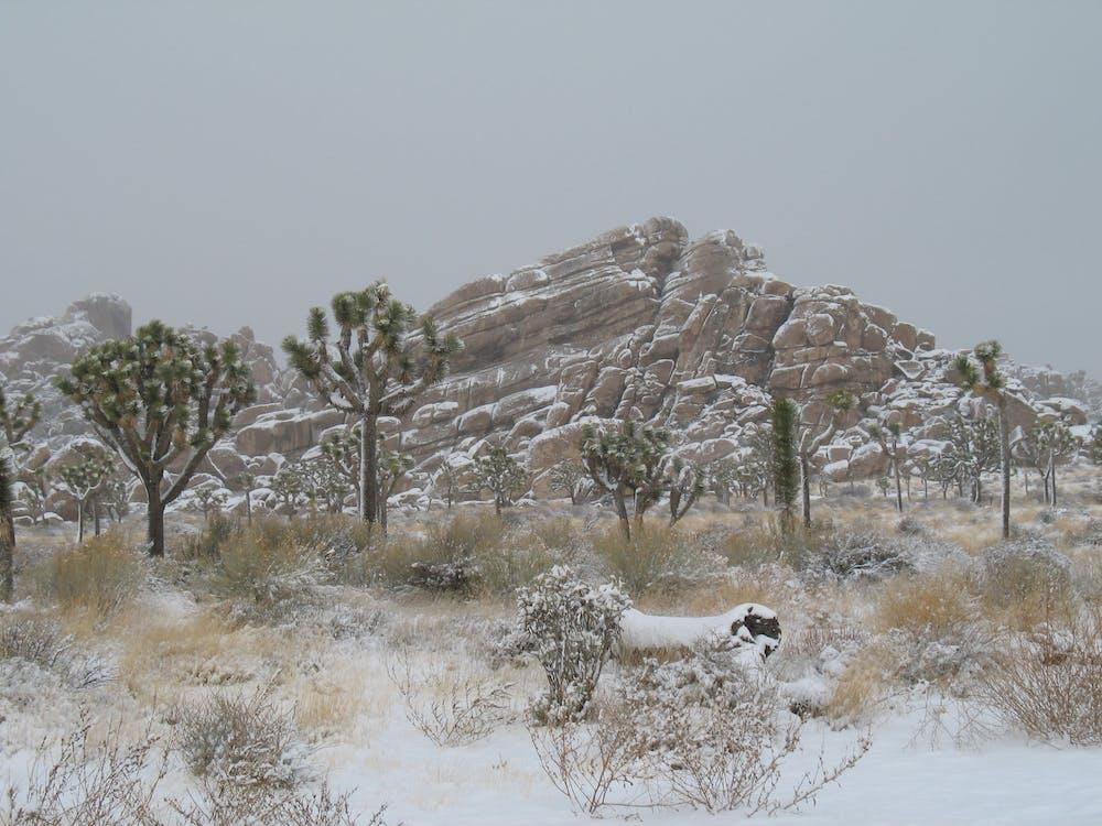 Free stock photo of joshua tree, snow