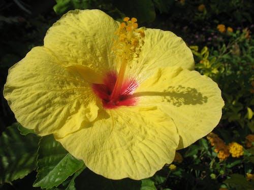 Darmowe zdjęcie z galerii z kwiat, maui, tropikalny