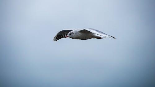 구름, 날으는, 새, 오렌지색 부리의 무료 스톡 사진