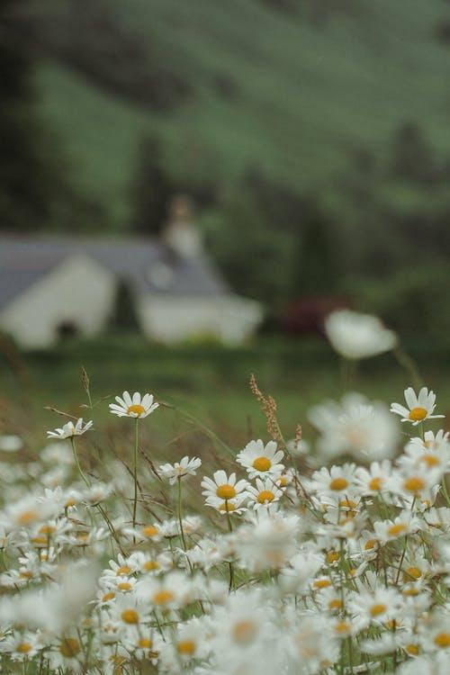 Fotos de stock gratuitas de camomila, enfoque selectivo, flora, Flores blancas