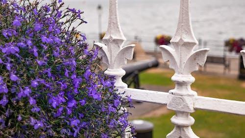 꽃, 보라색 꽃, 부두, 울타리의 무료 스톡 사진