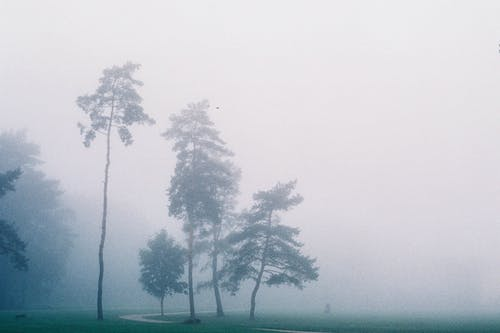 Trees Partially covered by Fogg