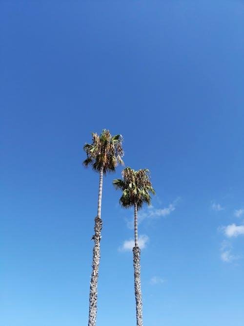ココナッツの木, トロピカル, ヤシの木, ローアングルショットの無料の写真素材
