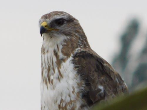 Foto stok gratis burung pemangsa