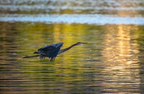 Бесплатное стоковое фото с птица, ранее утро, цапля