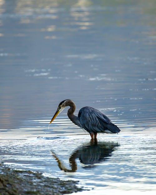 Бесплатное стоковое фото с вода, водоем, водоплавающая птица, животное