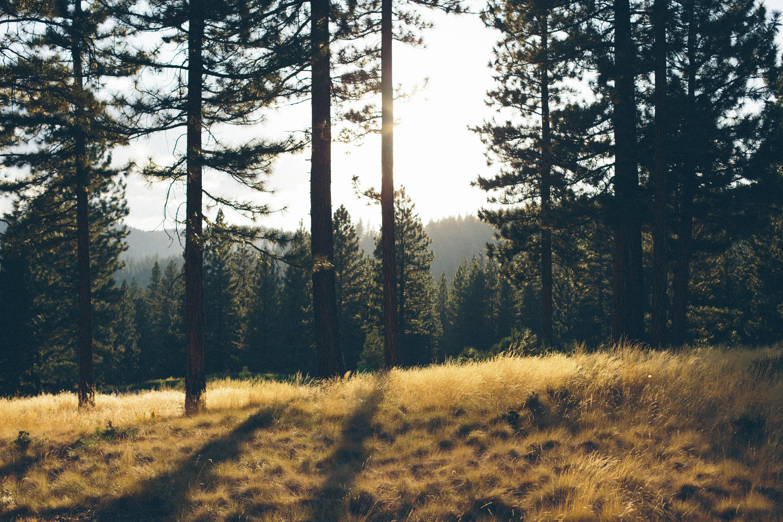 conifer, countryside, dark