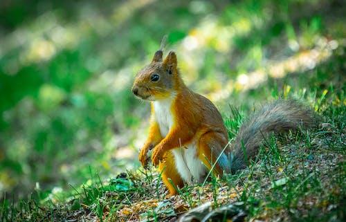 Fotobanka sbezplatnými fotkami na tému leto, príroda, roztomilý, veverička