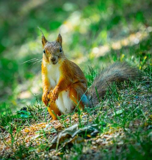 Fotobanka sbezplatnými fotkami na tému leto, nepokojný, príroda, veverička