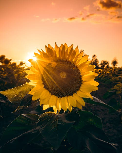 Безкоштовне стокове фото на тему «Захід сонця, квітка, колір, листя»