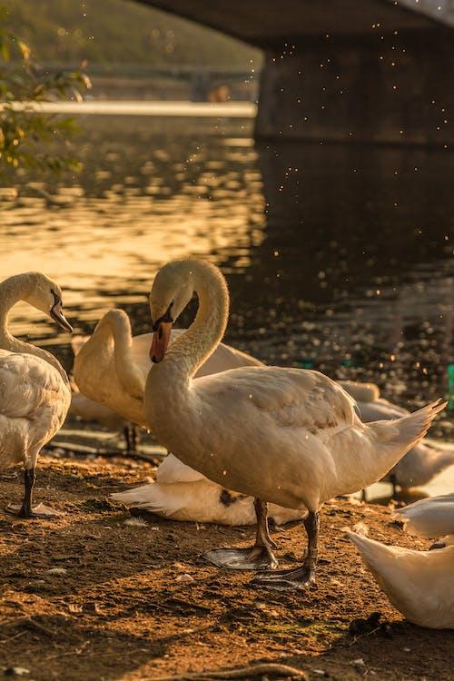 Foto profissional grátis de cisne, cisne branco, praga, República Checa