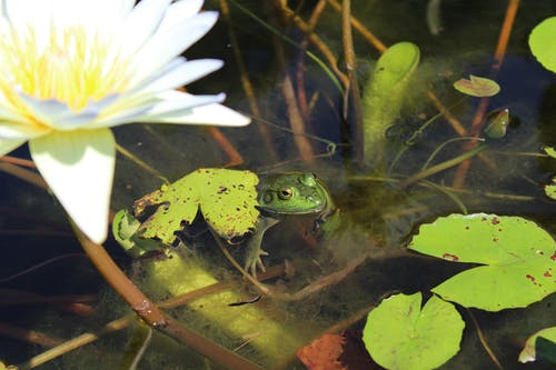 Photos gratuites de grenouille, nature, ribbit, vert