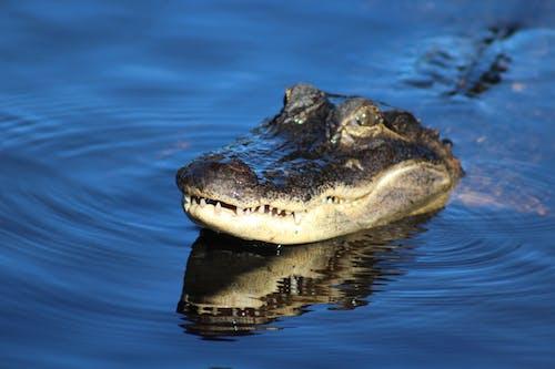 Photos gratuites de alligator, animal, dents, eau