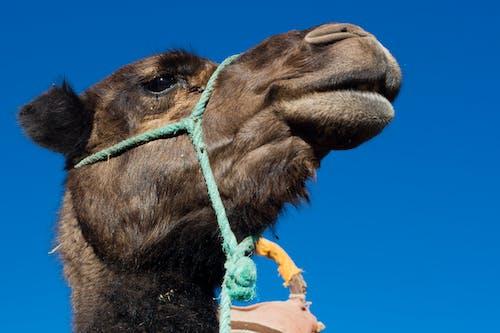 Ilmainen kuvapankkikuva tunnisteilla kameli