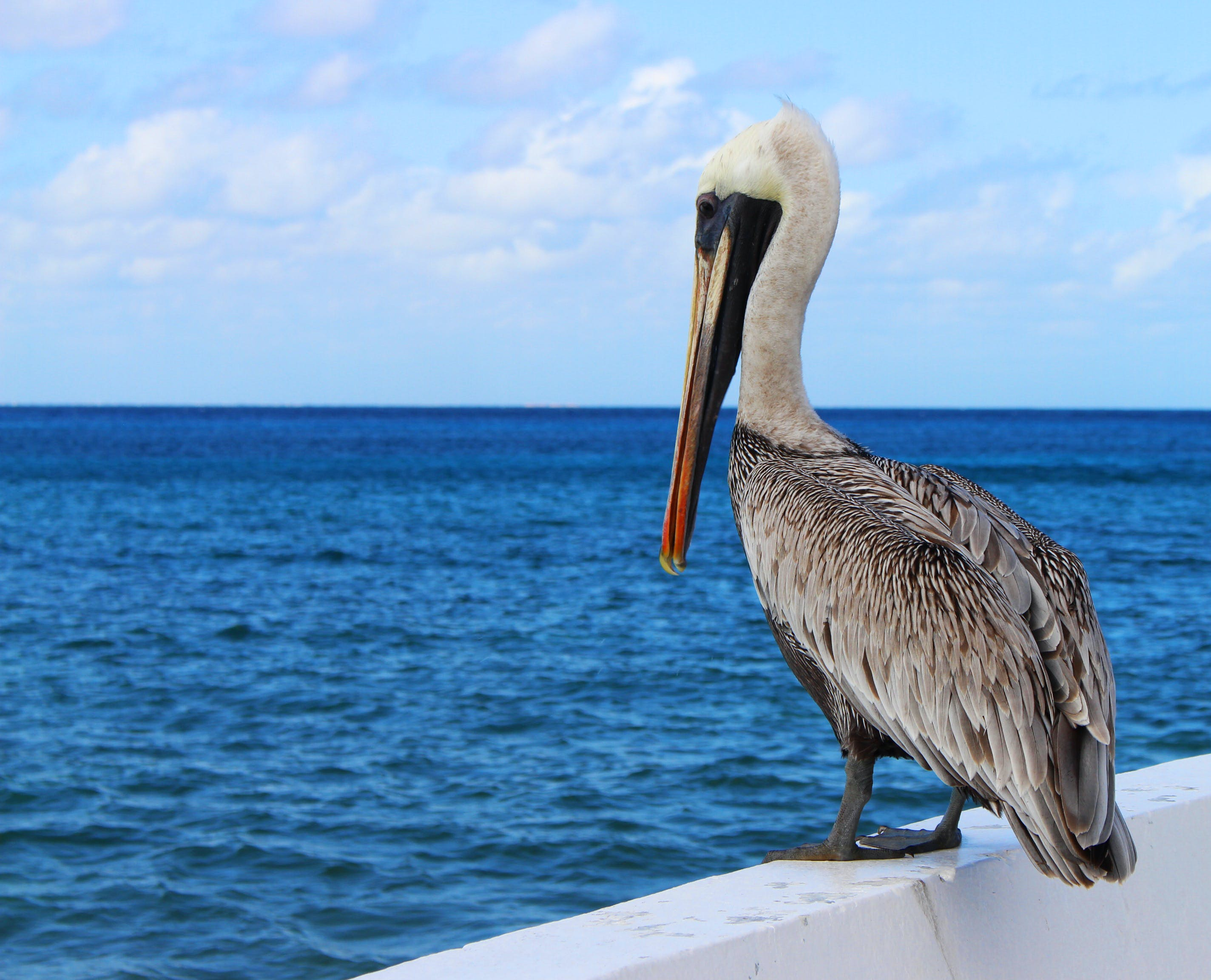 Free stock photo of sea, nature, bird, pelican