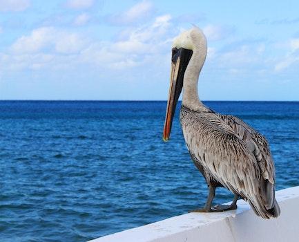 Free stock photo of sea, nature, bird, pelican