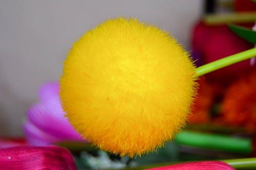 Free stock photo of chrysanthemum, Chrysanthemum balls, yellow
