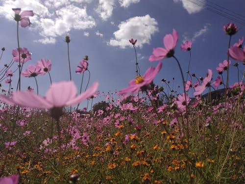 Gratis stockfoto met blauwe lucht, bloeiende bloemen, bloemen, roze kleur