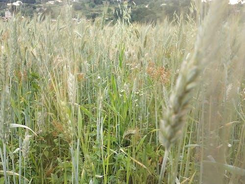 Ingyenes stockfotó gras, zöld fű témában