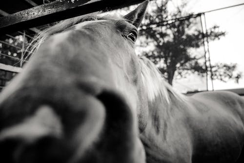 Grayscale Close-up Photo of Horse's Snout