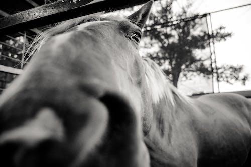 Безкоштовне стокове фото на тему «голова коня, домашня тварина, кінський, кінь»