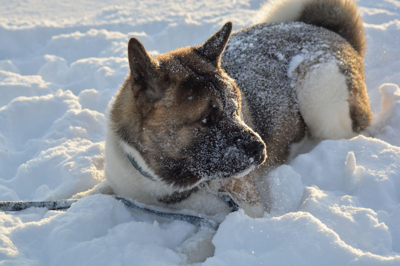 Kostenloses Stock Foto zu akita, hund, schnee, tier
