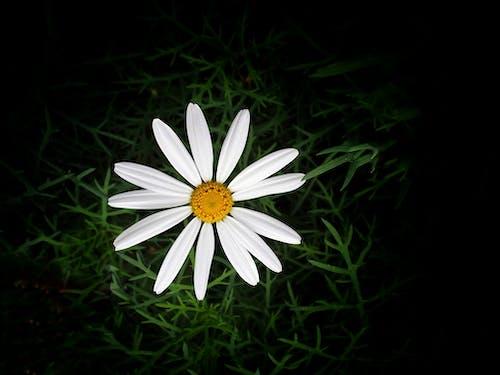 Foto d'estoc gratuïta de bellesa natural, flor única, fons fosc, margarida